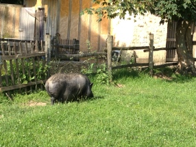 We saw pigs, chickens, cows, bunnies, goats and more! They were also crowing various crops in this area, too. So quaint.