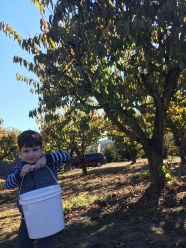 Pulling his weight while apple picking